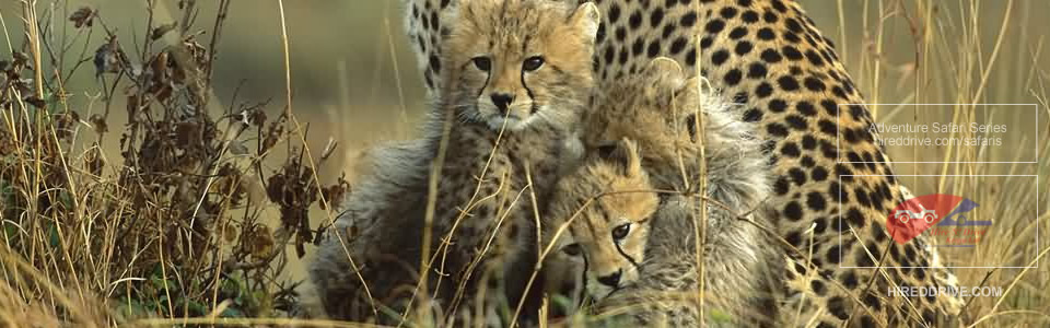 Image of Cheetahs in Masai Mara Game Reserve in Kenya. Part of the safari Experience by hireddrive.com